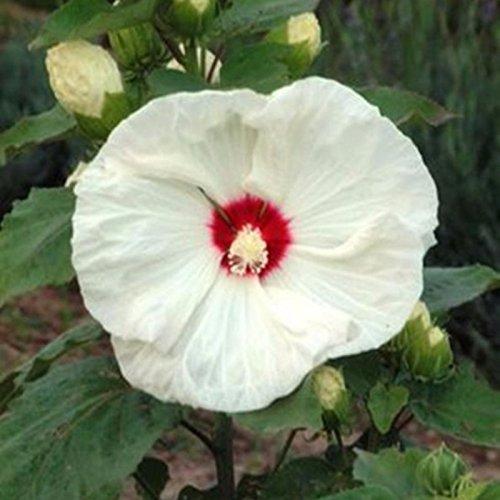 lichtnelke – Riesen-Hibiskus (Hibiscus moscheutos) Old Yella