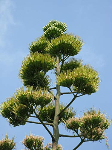 PLAT FIRM 20 Agave Americana Samen ~ Mezcal Nektar ~ große und lange Leben Jahrhundert