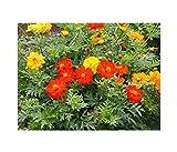 Cosmea Mix - Kosmee - Cosmos sulphureus - Schnittblume - Blume - 100 Samen