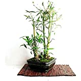 Vamsha Live Buddha Belly Bamboo Potted Plant *Great For Bonsai*