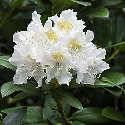 Rhododendron, 2 Liter weiß/cremeweiß, 3 Pflanzen von Amazon.de Pflanzenservice - Du und dein Garten