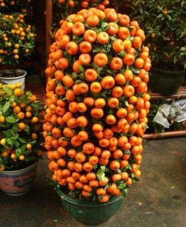 10pcs / lot Balcon Patio pot arbres fruitiers plantés Graines Kumquat Mandarine orange Citrus 1