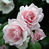 "Rambler ""New Dawn"" - (wurzelnackte Pflanze)"