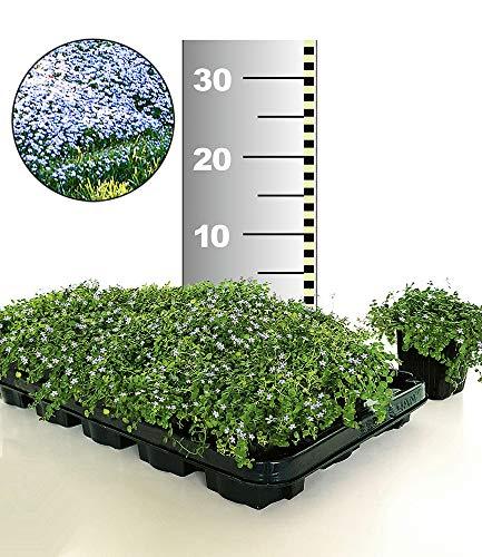 BALDUR-Garten Winterhart Isotoma 'Blue Foot®' 50 Stk. trittfester Bodendecker, Rasen-Ersatz