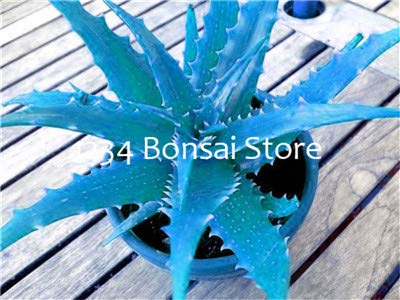 FARMERLY Pacchetto semi: Aloe bonsai 200 pezzi Vegetas e frutta bonsai pianta di aloe vera edi bellezza Edi cosmetici piante Bonsai per la casa & amp; Giardino: 18
