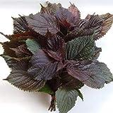 Plantree 100 Stücke Lila Shiso Samen Japanischen Basilikum Perilla Frutescens Chinesischen Kraut