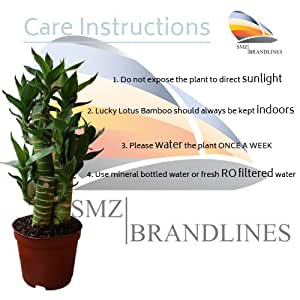SMZ Brandlines - 3 Layer Lucky Bamboo Lotus Indoor Bonsai Plant For Feng Shui