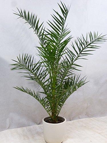 [Palmenlager] Phoenix canariensis -kanarische Dattelpalme - 140/150 cm // Indoor & Outdoor Palme