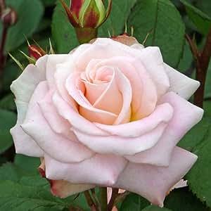 ROSE EMMERDALE-Unique Rose Gift For Fans Of T V Series Emmerdale