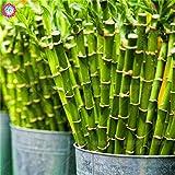 Shopmeeko 30 teile/beutel bodendecker chrysantheme, chrysantheme mehrjährige bonsai blume daisy topfpflanze für hausgarten sup: 18