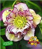 BALDUR-Garten Christrosen 'Double Ellen Picotée', 1 Pflanze, Helleborus niger winterhart