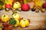 Fruchtbengel, Quitte Muskatnaja, Cydonia, winterhart, apfelförmig, aromatisch, alte Sorte