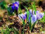 bulbi di crocus zafferano vero, iran zafferano, (sementi non lo zafferano), bulbi da fiore, Felice Gioia Fiori, piante in vaso bonsai per la casa-giardino 2bulbs 8