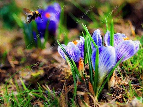 Galleria fotografica bulbi di crocus zafferano vero, iran zafferano, (sementi non lo zafferano), bulbi da fiore, Felice Gioia Fiori, piante in vaso bonsai per la casa-giardino 2bulbs 8
