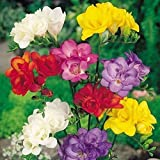 Best Mixed Indoor Plants - 6 Mixed Double Freesia Bulbs Prime - Fragrant Review