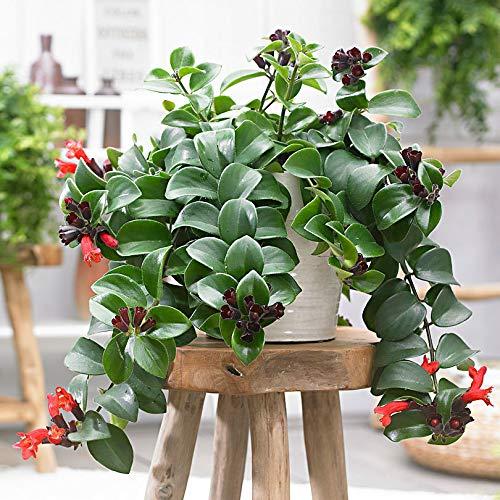 Keland Garten - 100pcs Hängepflanze Schamblume Lippenstiftblume Bonsai Blumensamen winterhart mehrjährig geeignet für Hängetopf Blumenkasten