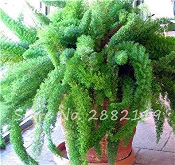 semi plat firm-120 pezzi rari semi wuboo coda di volpe ornamentale bonsai piante da giardino perenni indoor semi vaso fresh air facile da coltivare 2