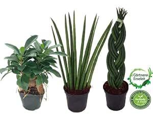Bogenhanf, Sansevieria Cylindrica, Sanseveria, Ficus Ginseng, 3er Set