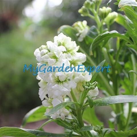 Graines 20pcs Mix-couleurs Violet Flower Flower Stock Matthiola Incana jardin Ornement de fleur Bonsai DIY usine Livraison gratuite