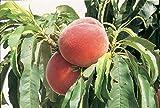 Fruchtbengel, Pfirsich Roter Ellerstädter, Prunus persica, mittelgroß, dunkelrot, saftig, robust
