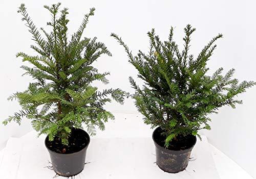 10 Taxus baccata, Höhe: 40-50 cm, 2 Liter Topf, Heimische Eibe, Hecke, buschig