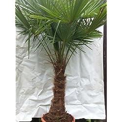 """XXL Winterharte Palme XXL Stamm 40-50 cm - Trachycarpus fortunei """"Chinesische Hanfpalme"""" 170-180 cm"""