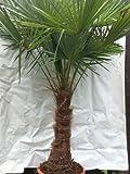 XXL Winterharte Palme XXL Stamm 40-50 cm - Trachycarpus fortunei