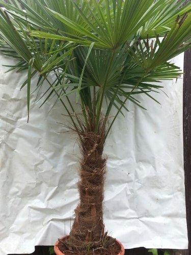 XXL Winterharte Palme XXL Stamm 50 cm - Trachycarpus fortunei 'Chinesische Hanfpalme' 150-180 cm