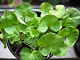 Asklepios-seeds - 100 Centella asiatica Samen, Tigergras, Gotu Kola, asiatischer Wassernabel