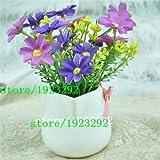 Pinkdose 100 Argyranthemum Frutescens Samen Marguerite Gänseblümchen, so hübsch, lange Blütezeit: Lila