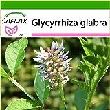 SAFLAX - Kräuter - Süßholz / Lakritze - 30 Samen - Mit Substrat - Glycyrrhiza glabra
