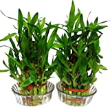 #4: Urancia® 3 Layer Lucky Bamboo Plant with Coins and Glass Bowl 1 Packet