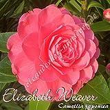 Kamelie 'Elizabeth Weaver' - Camellia japonica, Grupo de precio:6