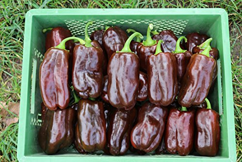 Reinsaat CV105 Paprika Sweet Chocolate (Bio-Paprikasamen)