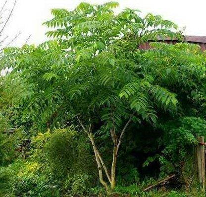 Tree Seeds Online - Juglans Sieboldiana. Japonés Nogal 2 Raro Semillas - 10 Paquetes