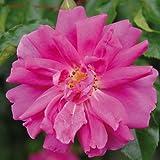 André Eve - Rosier Liane Mme Solvay Evevay - Pot 5 Litres - Couleur : Rose