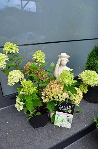Rispenhortensie Hydrangea paniculata Little Lime 30-40 cm im 3 Liter Pflanzcontainer