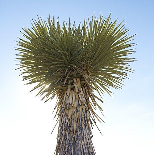 Yucca elata - Stammbildende Yucca - Samen