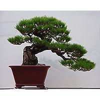 I semi di acero, 20pcs / bag di acero giapponese, acero rosso, semi di fiori rari bonsai, i semi del pacchetto professionali, di piante per il giardino di casa