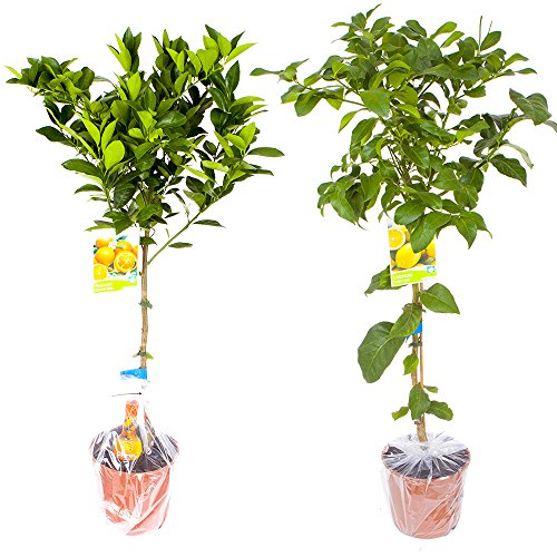 pair-of-large-citrus-trees-in-65l-pots-with-free-citrus-feed