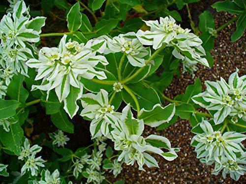 15 Samen von Euphorbia Marginata (Weißrand-Wolfsmilch) (Samen Wolfsmilch)
