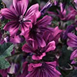 Plant World Seeds - Malva Sylvestris Seeds