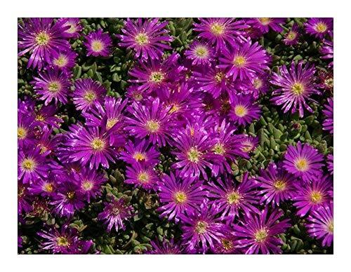 Delosperma lavisiae - Aizoaceae - 15 graines