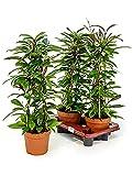Pozellanblume beliebte Zimmerpflanze für die Fensterbank Hoya publicalix 1 Pflanze