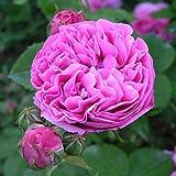 Rose Louise Odier (im grossen Container) - Kräftig entwickelte Pflanze im 6lt-Topf