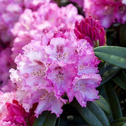 Rhododendron yak. Arabella Alpenrose 30-40cm im Topf gewachsen