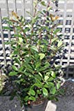 Portal Cool Photinia 'Red Robin' - Bunte Pflanze - Ca. 45Cms Hoch