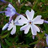 lichtnelke - Polster-Phlox (Phlox subulata ' Cushion Blue ')