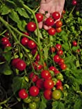 Premier Seeds Direct Tomato Dwarf Variety Window Box Red Finest Seeds (Pack of 100)