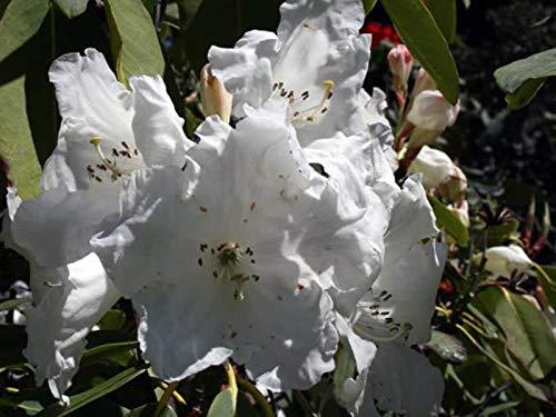5x Rhododendron griffithianum Weiß Samen Strauch Garten Pflanze ID49